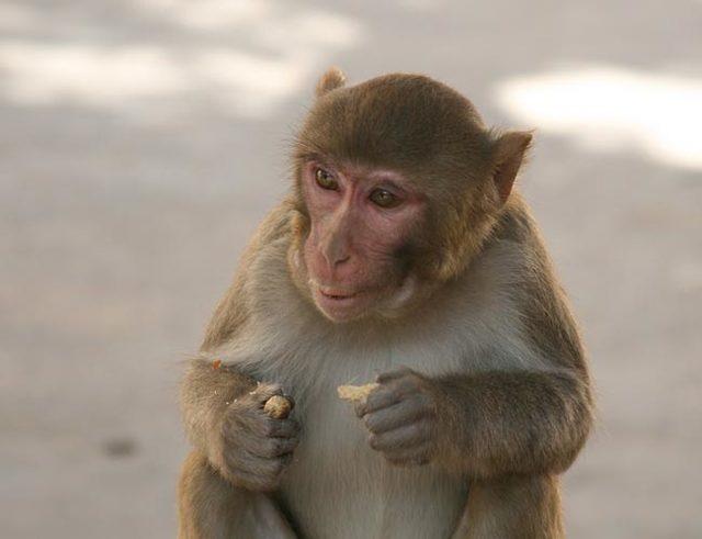 Краткое содержание басни Зеркало и обезьяна Крылова за 2 минуты пересказ сюжета