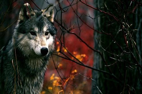 Краткое содержание басни Крылова Волк и ягненок за 2 минуты пересказ сюжета